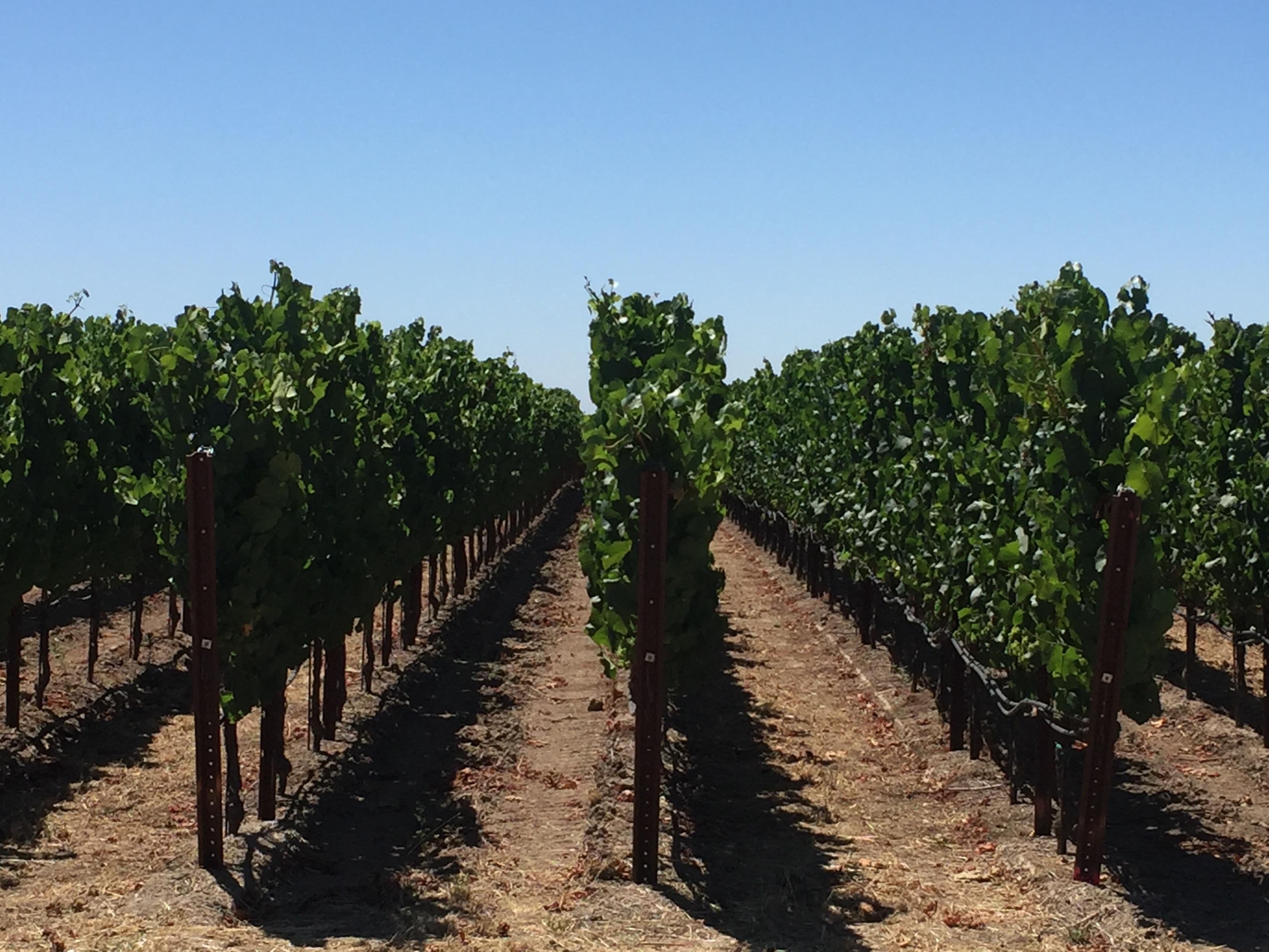 Martaella vines
